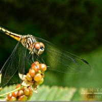Dragonfly-web-2_thumb[1]