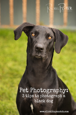 pet photography - how to photograph a black dog