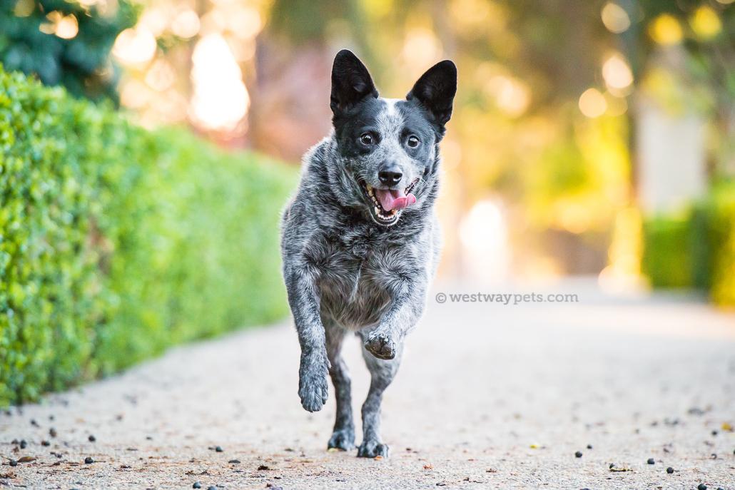 westway-studio-running-australian-cattle-dog-happy-san-diego-pet