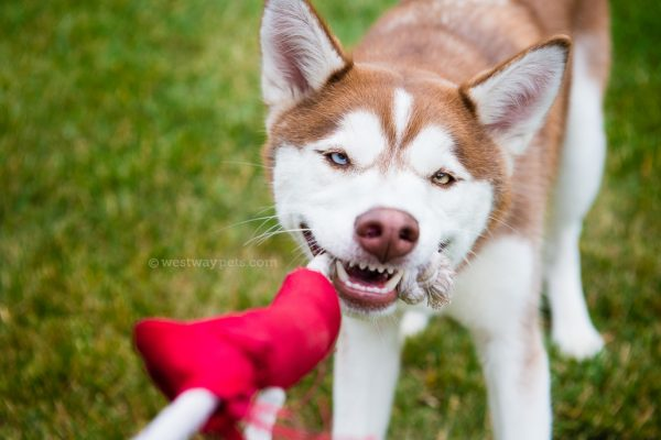 westway-studio-tug-toy-husky-play-time-san-diego-pet-photography