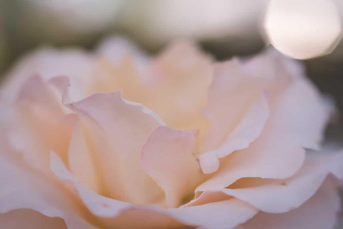 Light pink macro shot of a flower.