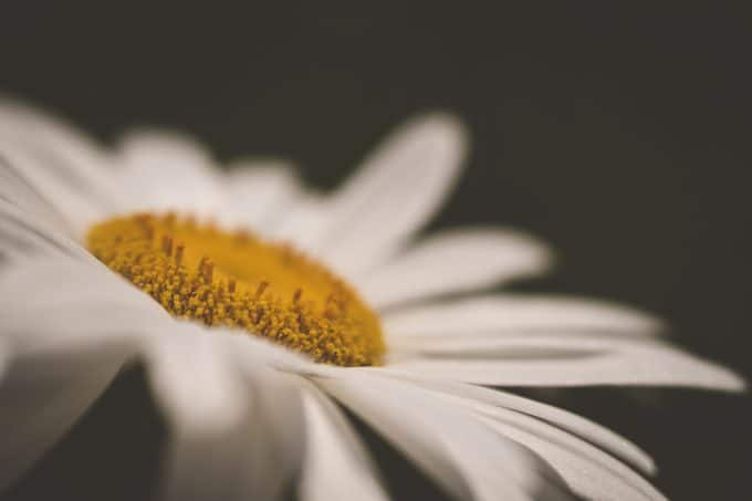 macro photography picture of a daisy with a black background