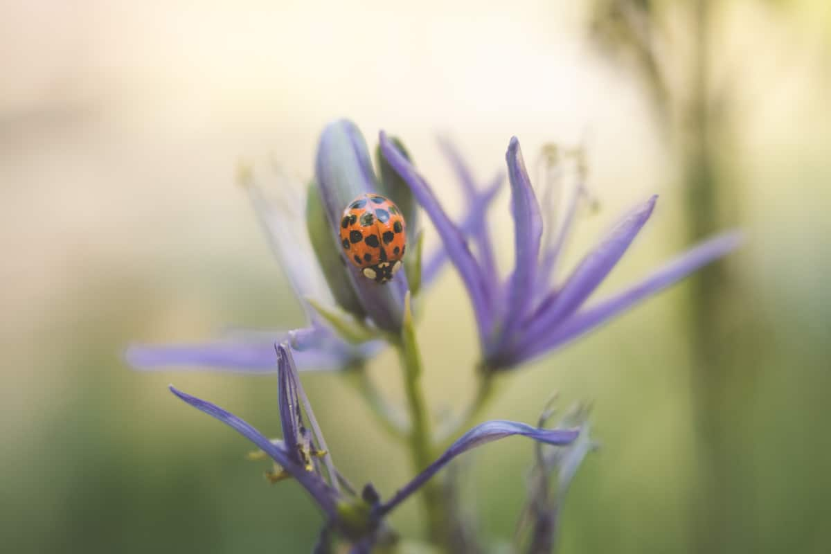 macro photography shot of a lady bug on a small purple flower.
