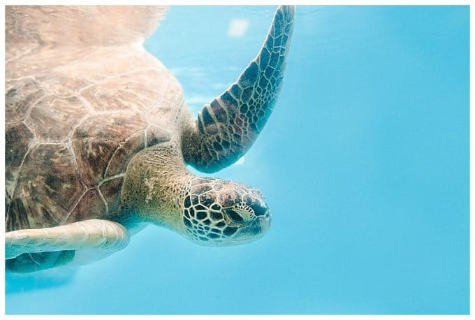 A sea turtle coming in from the left side of the frame. There is negative space of bright blue sea water on the right.